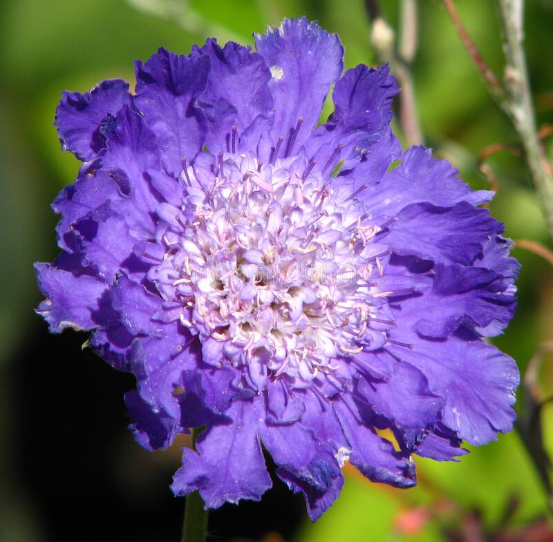purple-and-white flower 2 stock image