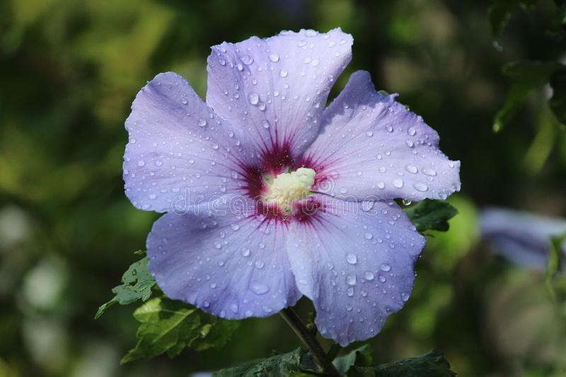 Purple and white flower heads of the hibiscus plant with water drops in the garden in the Netherlands. stock photography