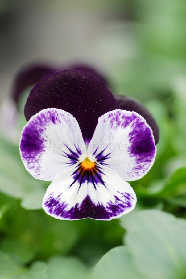 Purple and White Flower Pansies closeup of colorful pansy flower. Pot plant stock image