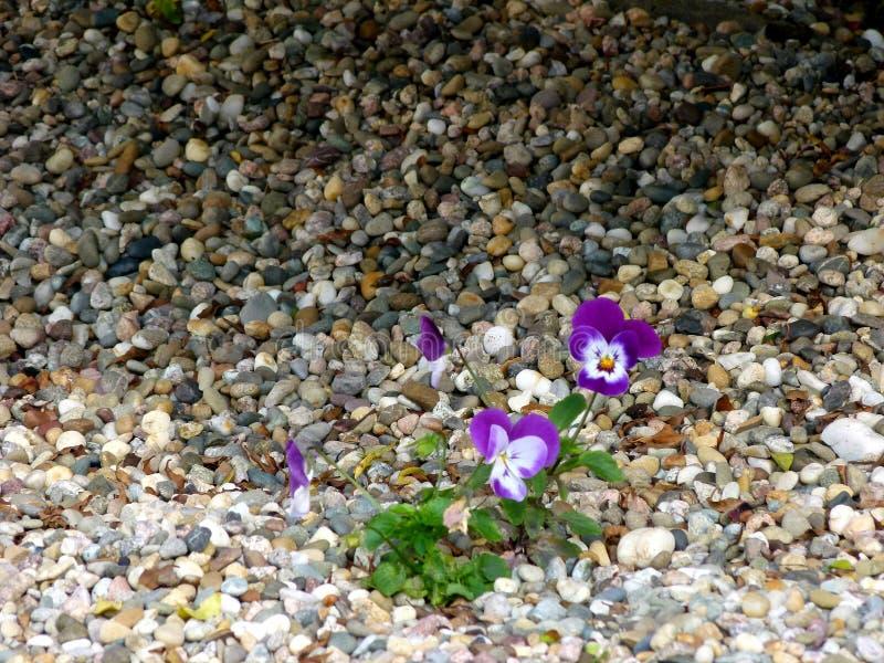 Purple-white flowering pansies in pebble bed royalty free stock photo