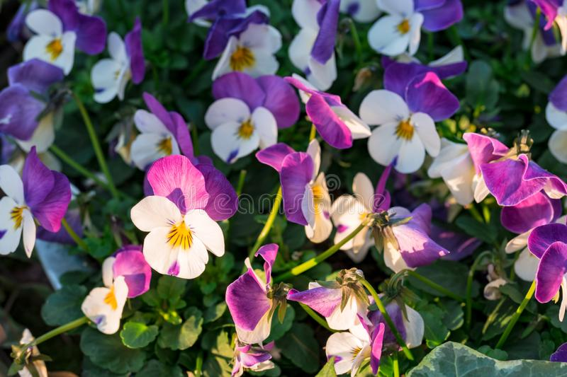Purple-white heartsease flowers viola tricolor hortensis growing in a flowerbed royalty free stock photo