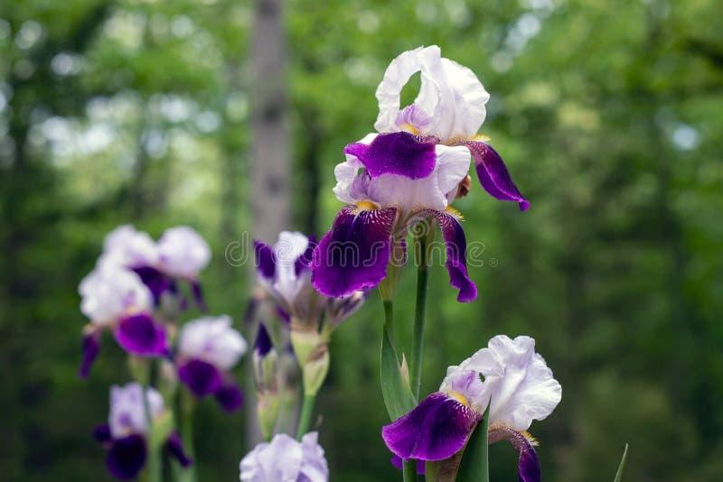 Purple and White Iris Blooms. Photo taken: Spring 2018, East Coast, USA stock images