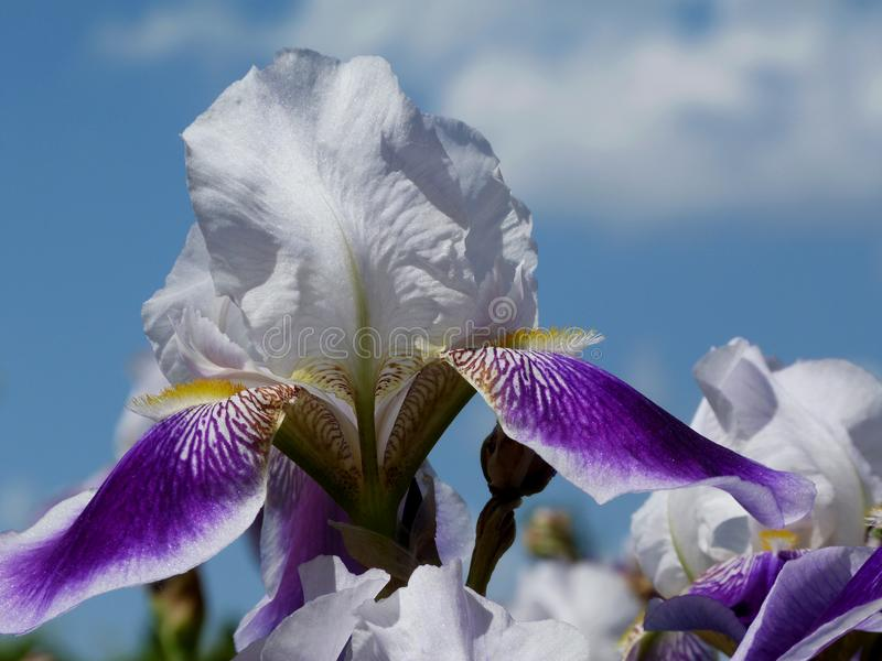 Beautiful purple violet and white Iris with blue sky above. Purple violet and white iris close up with large delicate and soft petals & soft fresh blurry blue royalty free stock photography