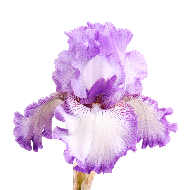Purple and white iris flower isolation. Close-up of a single purple and white plicata flower of bearded iris (Iris germanica) isolated against a white background royalty free stock image