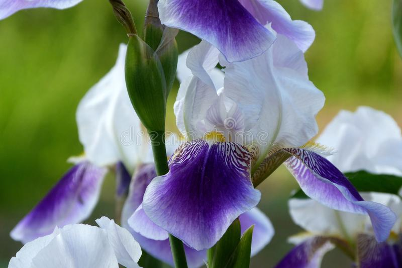 Purple and white Iris with green background. Purple violet and white Iris flower head close up with soft blurry green background. beauty in nature concept stock photos