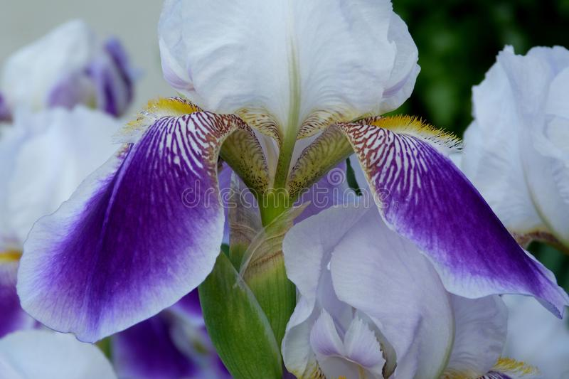 Purple violet and white Iris with green background. Purple violet and white iris close up with large delicate and soft petals and soft fresh blurry green stock photography