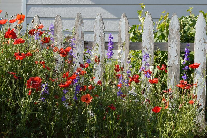 Purple and White Larkspur Delphinium Red Poppies in garden white picket fence horizontal stock image