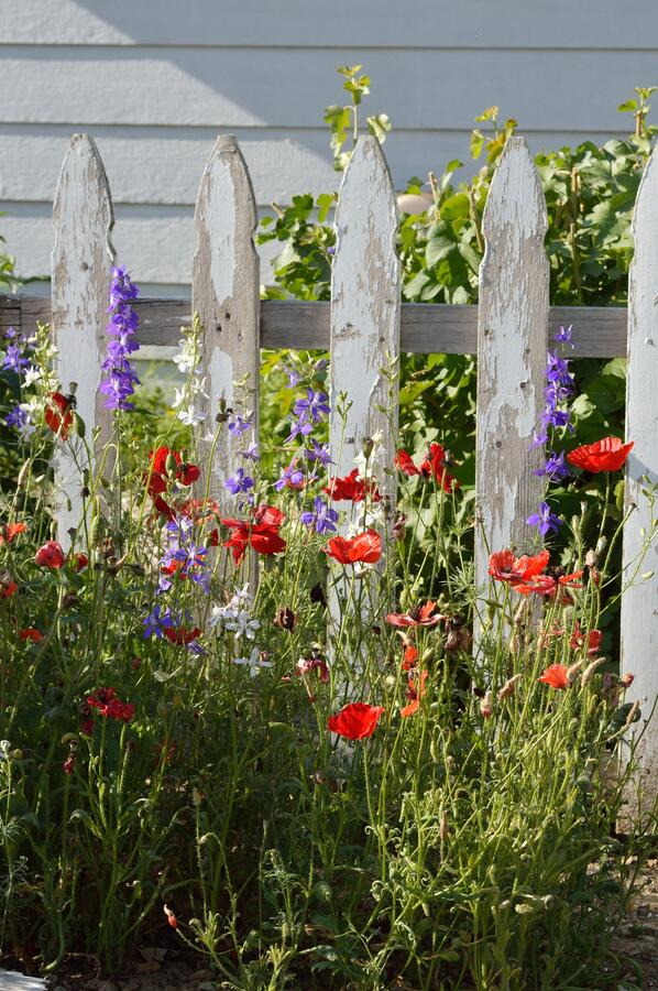 Purple and White Larkspur Delphinium Red Poppies in garden white picket fence vertical stock photography