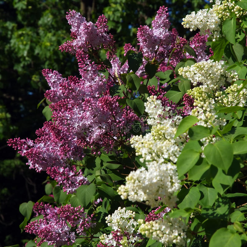 Purple and White Lilac. Bush of purple and white lilac and green leaves stock image