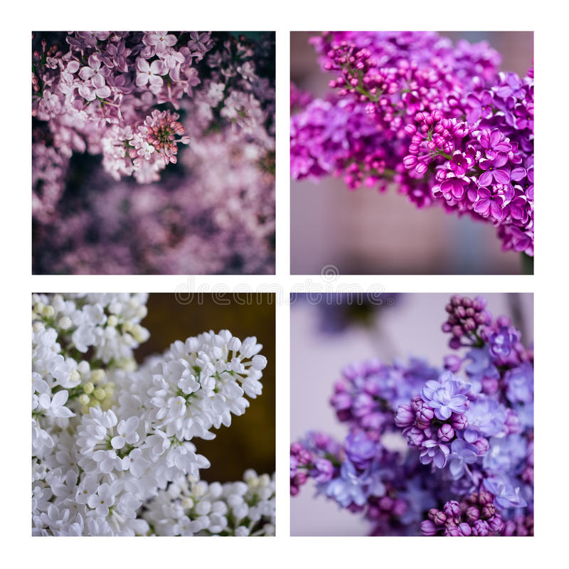 Purple and white lilac. Blooming stock image