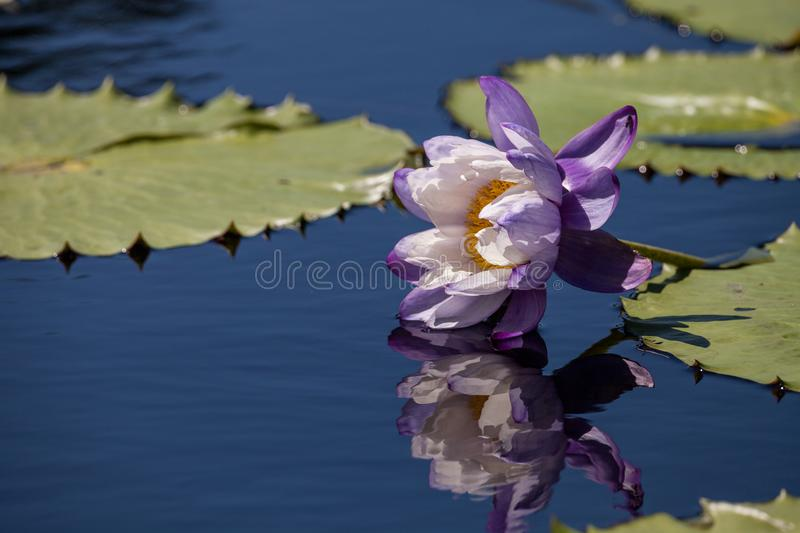 Purple and white N Kews Stowaway Blues water lily Nymphaea gigantea. In a pond in Naples, Florida stock photography