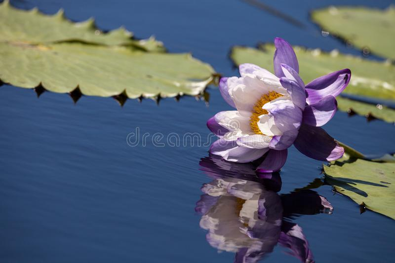 Purple and white N Kews Stowaway Blues water lily Nymphaea gigantea. In a pond in Naples, Florida stock images
