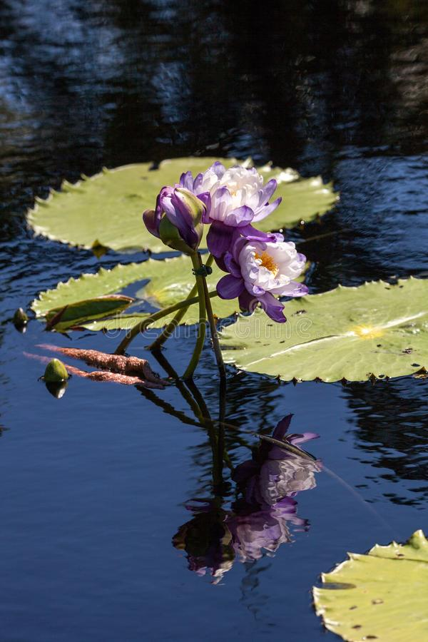 Purple and white N Kews Stowaway Blues water lily Nymphaea gigantea. In a pond in Naples, Florida royalty free stock photos