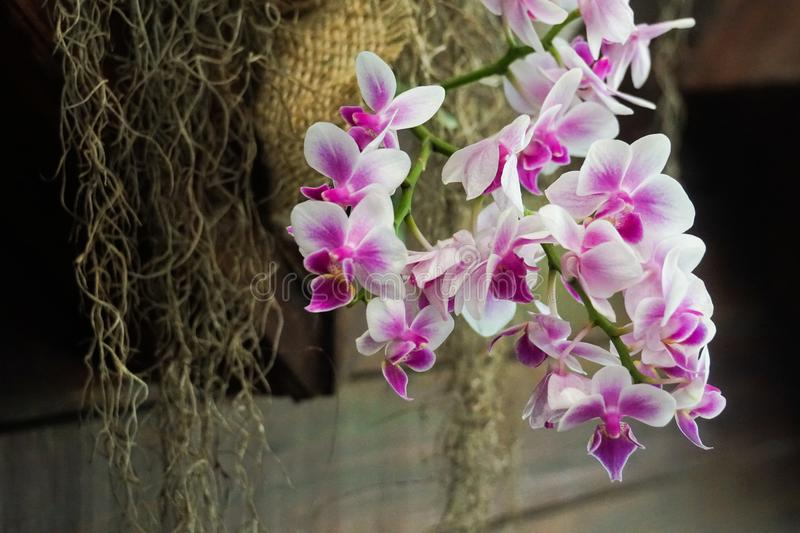 Purple white orchid close up royalty free stock image