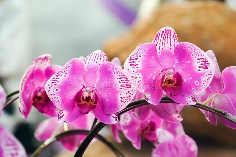 Purple white orchid close up royalty free stock photos