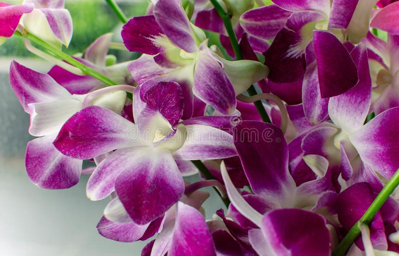 Purple with white orchid flowers close-up stock photo