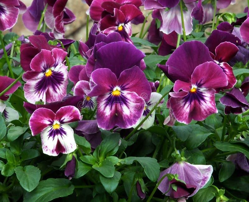 Pansies Or Viola Tricolor In Bloom royalty free stock photos