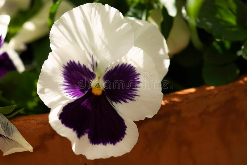 Purple and White Pansy royalty free stock image