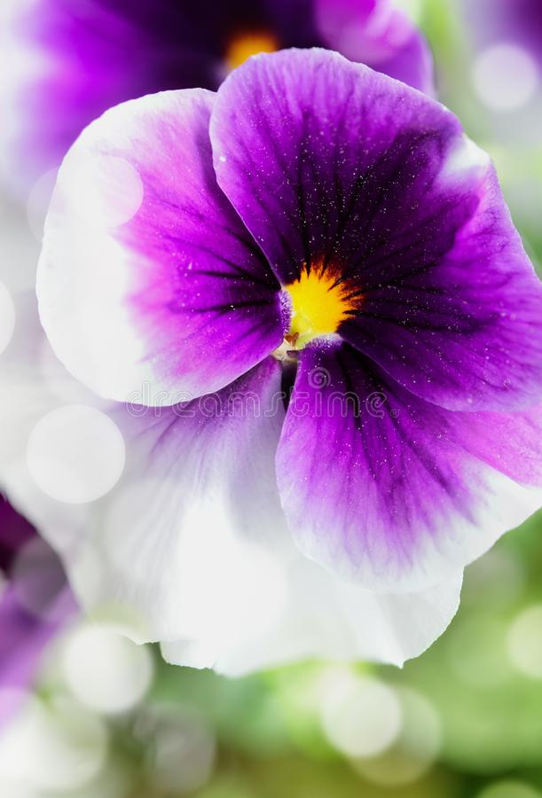 Purple and white Pansy up close. Up close macro of a purple and white Pansy with bokeh and blurred background. Selective focus on center of Viola flower. Spring royalty free stock photography