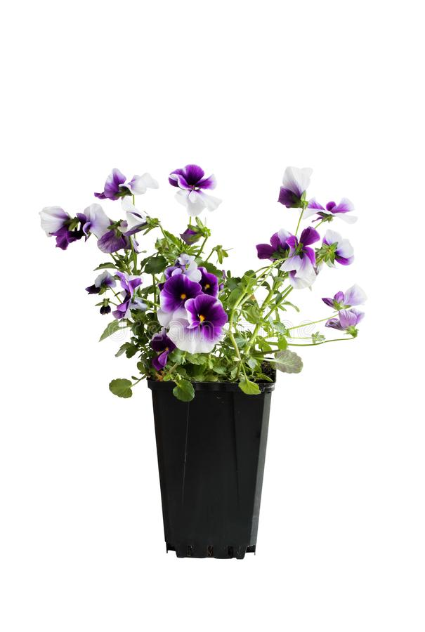 Purple and white potted Pansy over a White Background stock images