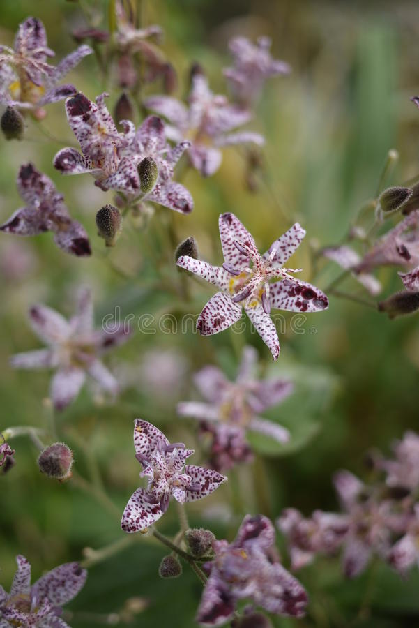 Purple And White Small Toad Tiger Lily Flowers Stock Image