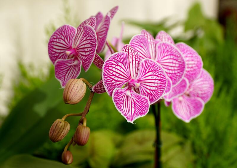 Purple and white stripes, a unique multicolor of Phalaenopsis orchid flower stock photo
