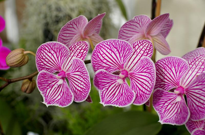 Purple and white stripes, a unique multicolor of Phalaenopsis orchid flower royalty free stock photo