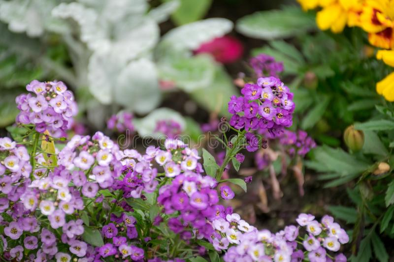 Purple and white of Sweet Alyssum flowers in a garden with other background. royalty free stock photo