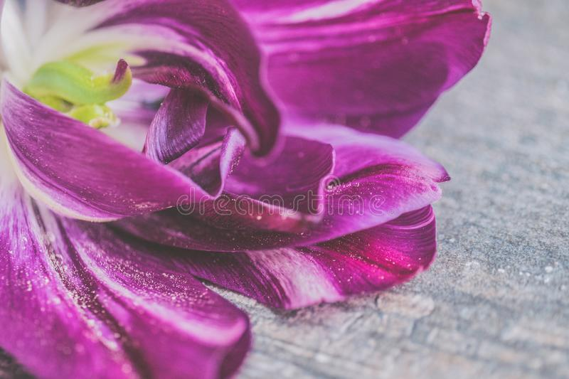 Purple and White Tulip Flower in Closeup Photo stock images