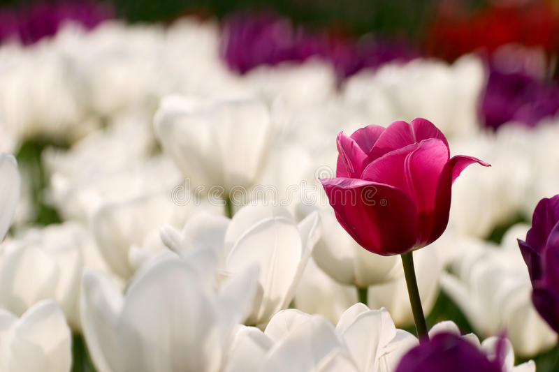 Purple and white tulips royalty free stock photo