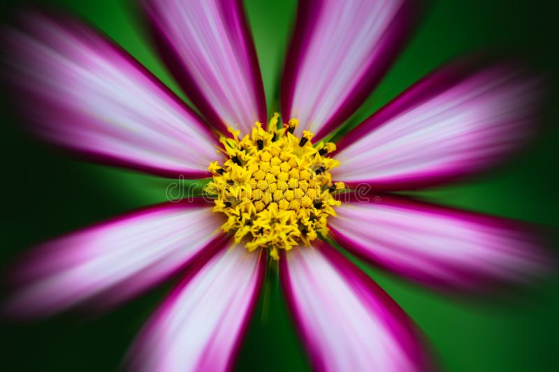 """Purple, white, vivid pink wild flower """"Wild Cosmos"""" C. bipinnatus blooming during Spring Summer closeup macro photo isolated. In out of focus vector illustration"""