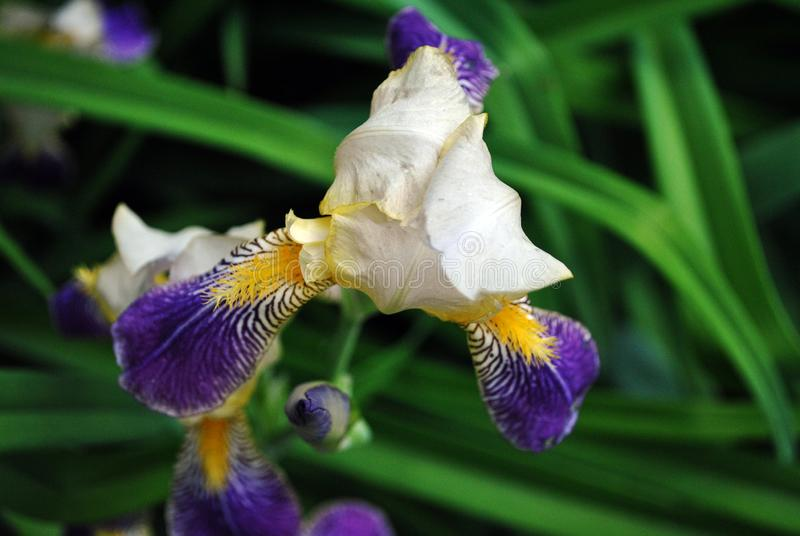 Purple, white and yellow iris flower blooming, close up detail, blurry green leaves. Background royalty free stock photography