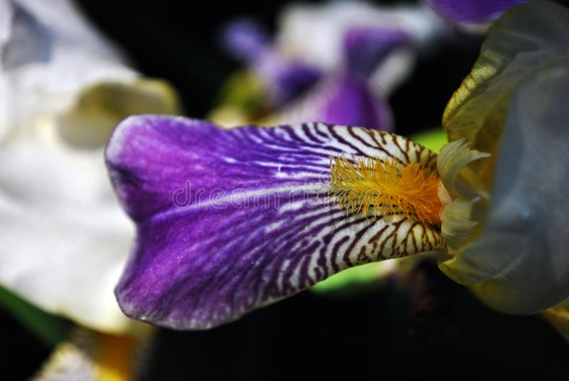 Purple, white and yellow iris flower blooming close up striped detail. Blurry dark background royalty free stock photography