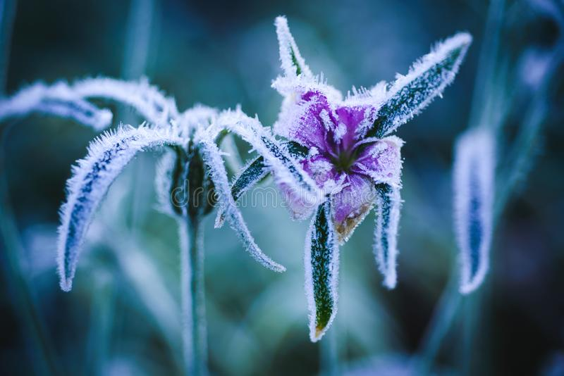 Purple wild flower with first frost stock images