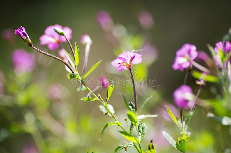 Purple wild flowers on a background of blurred. Greens stock images