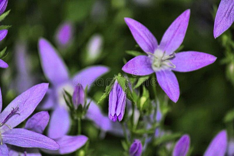 Purple wild flowers in Derbyshire stock image