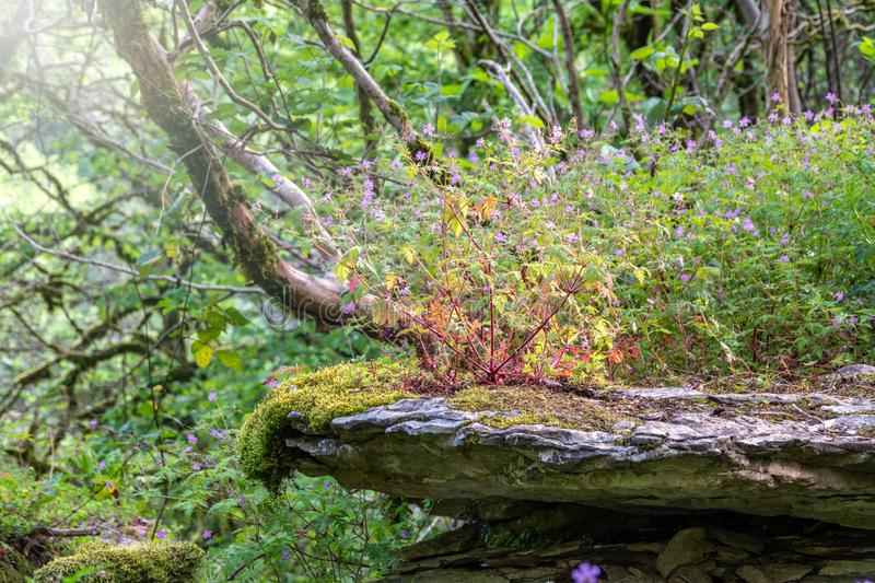 Purple wild flowers grow on a stone cliff among a green forest. Beautiful purple wild forest flower. Geranium robertianum. Or herb-Robert, red robin, squinter royalty free stock photos