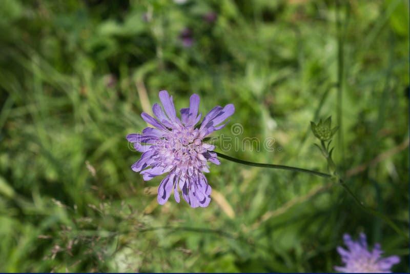 Purple wildflower knautia. Closeup on a meadow royalty free stock image