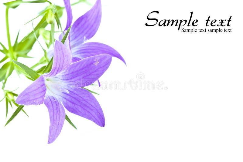 Purple Wildflowers Royalty Free Stock Image