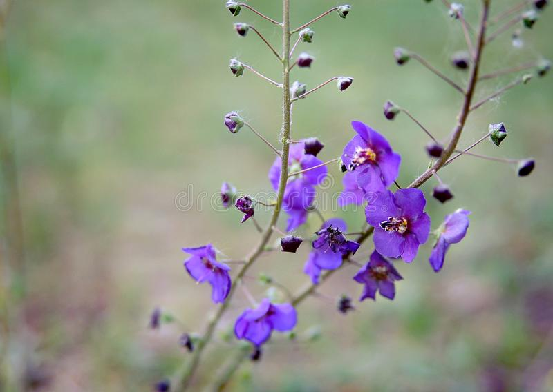 Purple wildflowers - beauty underfoot royalty free stock photos