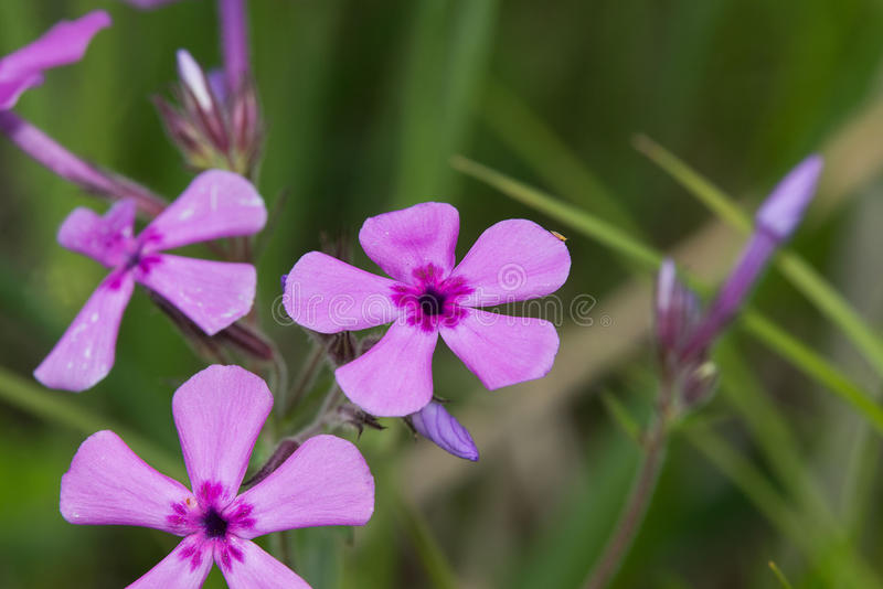 Purple wildflowers. A cluster of purple wildflowers with a green background stock image
