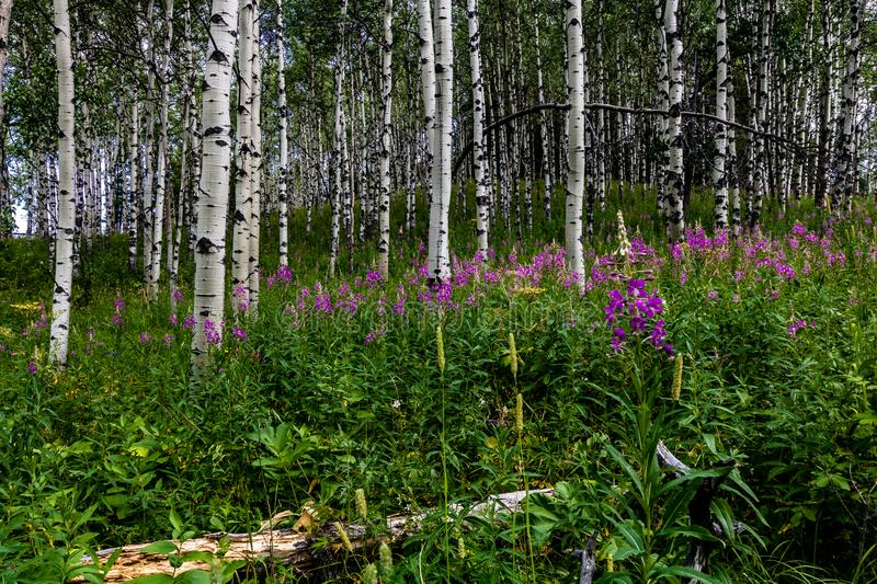 Purple wildflowers in a forest of birch trees, Sibbald Lake Provincial Recreation Area, Alberta, Canada. Purple wildflowers dot the landscape among the birch stock photography