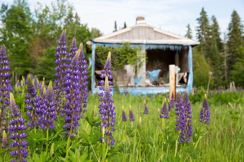 Purple Wildflowers in Front of an Abandoned Shack stock photo