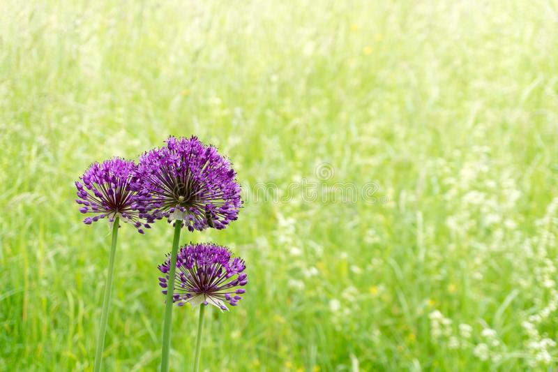 Purple wildflowers up close with a tall grass meadow in the background royalty free stock photography