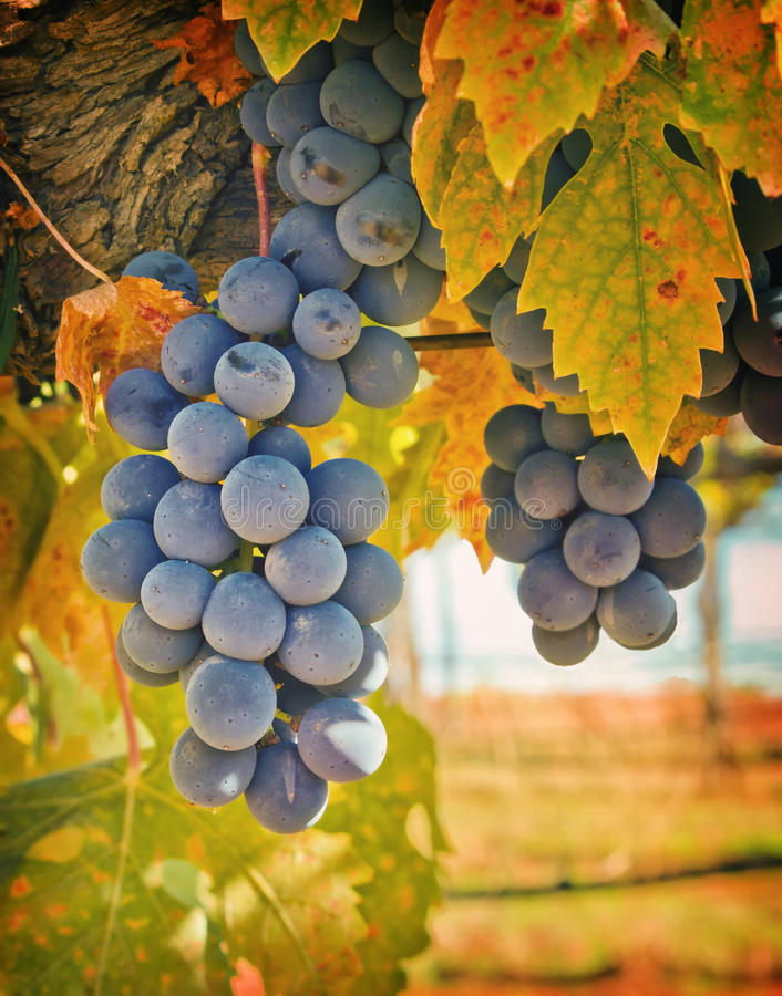 Free Purple Wine Grapes, California Royalty Free Stock Photo - 21780755