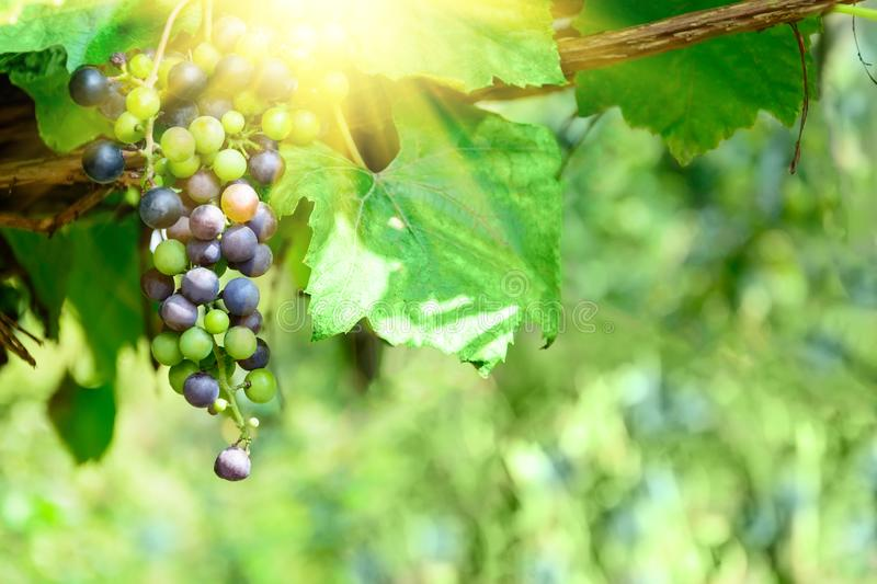 Purple wine grapes on the vine. Sunny vineyard on the background. Selective focus. Copy space.  royalty free stock image