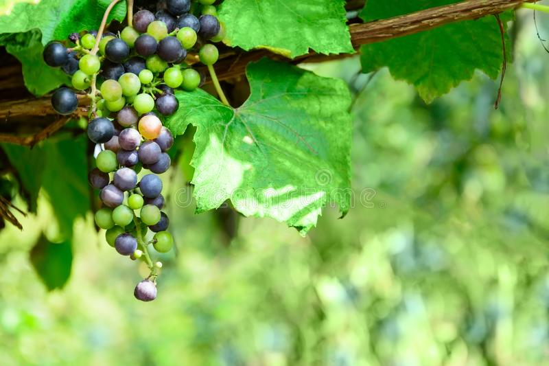 Purple wine grapes on the vine. Sunny vineyard on the background. Selective focus. Copy space.  royalty free stock photo