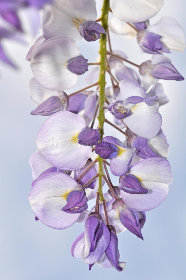 Purple wisteria royalty free stock photography
