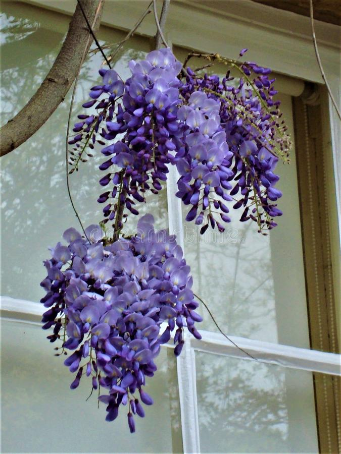 Purple wisteria blooms hanging near the window. Close-up stock photography