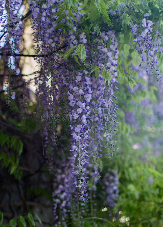 Purple wisteria in blossom stock photography